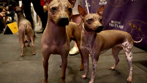 Candy, 2, left, Rodney, 7, center, and Johnny, 2, three American Hairless Terrier breeds owned by Virginia's Sue Medhurst, are among three new breeds competing in the Westminster Kennel Club Dog Show at Madison Square Garden.