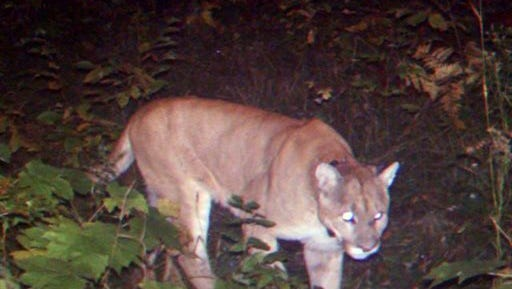 This Saturday, Sept. 24, 2011 file photo made by a trail camera and provided by the Michigan Department of Natural Resources shows a cougar in Houghton County, Mich. The department on Friday, Nov. 7, 2014 said it had confirmed two more cougar sightings in Michigan's Upper Peninsula. That increased the confirmed sightings since 2008 to 26 in 11 upper Michigan counties. The state said the cougars are believed to be young individuals that have come from established cougar populations in the Dakotas.