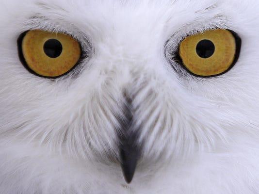 APTOPIX Snowy Owls