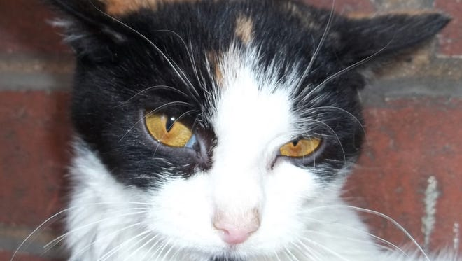 Shy is a five year old spayed female calico cat. She was a return adoption from the family of an owner who died. She is a quiet, gentle cat, but tends to hide when confronted with unfamiliar people or situations. To adopt Shy, call (870) 425-4825 or (347) 244-2477 or visit www.dogsncats.petfinder.org to see other Louis Animal Foundation animals available for adoption.