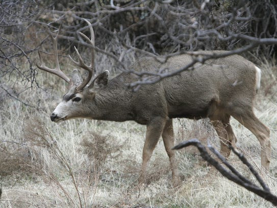A mule deer buck grazes in Zion National Park, Dec.