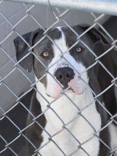 Lassen 2yrs 1 month male Terrier American Pit Bull