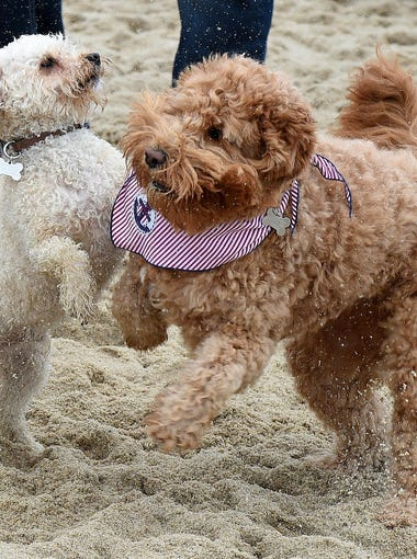 Doodle Dogs invaded Dewey Beach on Saturday, April 30.