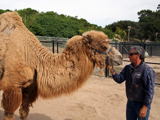Kenji and Charlie Sammut, Monterey Zoo director, in the new camel exhibit