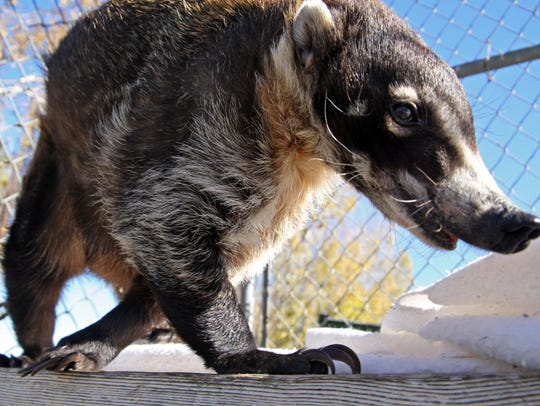 Lucy, a white nose coati, at the Monterey Zoo
