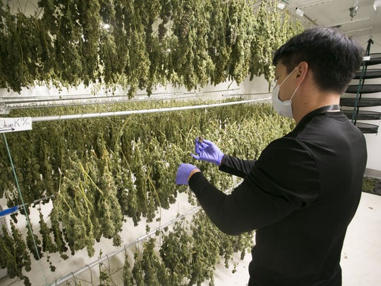 True Harvest Ronin Klos looks at marijuana in the drying