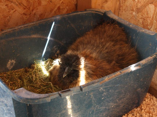 A Silkie Chicken at the Anderson home in Ninevah prepares for an egg to hatch inside the chicken coop.