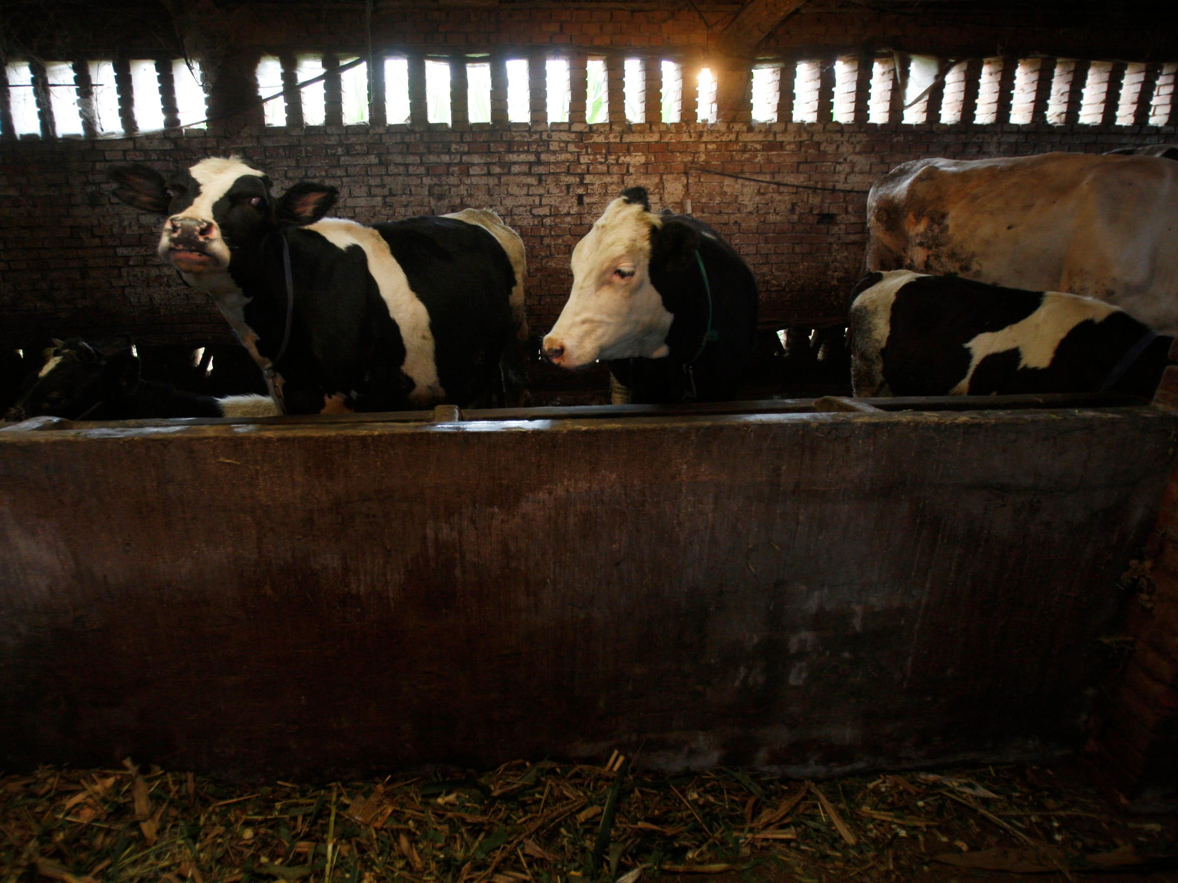 Milk cows are seen at a farm near Zhengting, northern