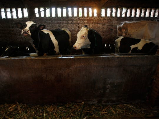 Milk cows are seen at a farm near Zhengting, northern China's Hebei province, in a 2008 file photo. Although large-scale dairy farms have been on the rise in China in the last few years, more than half of the country's milk supply still comes from farms with fewer than 10 cows.