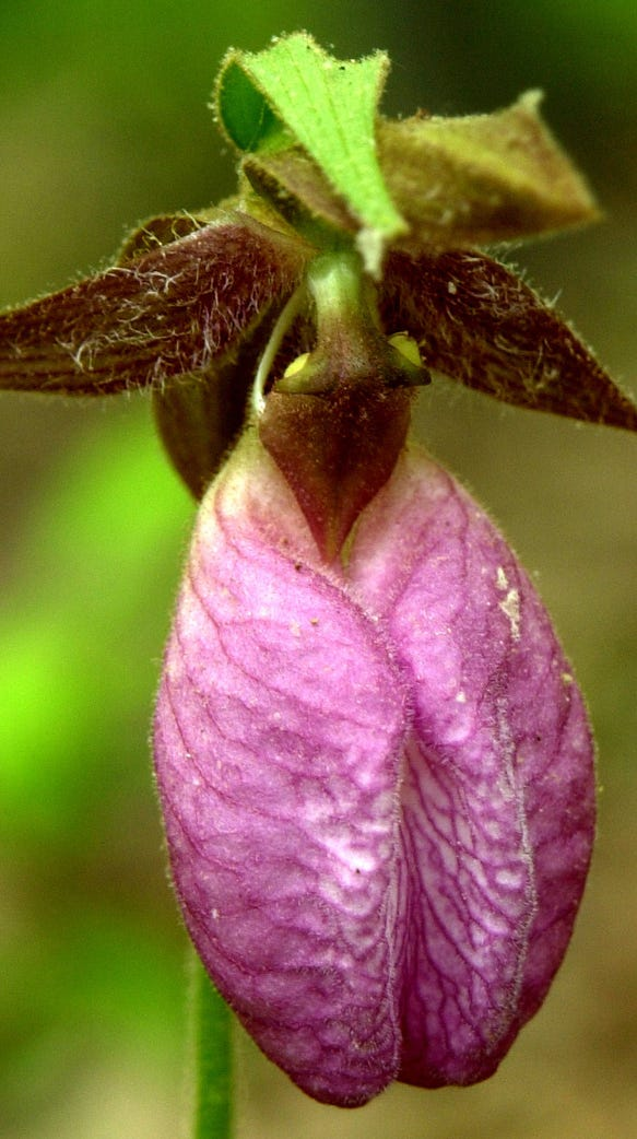 The Pink Lady's Slipper is a member of the orchid family