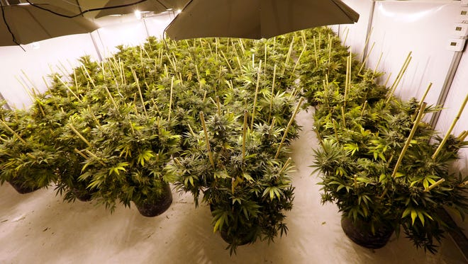 In this file photo taken Jan. 13, 2015, marijuana plants sit under powerful lamps in a growing facility in Arlington, Wash.