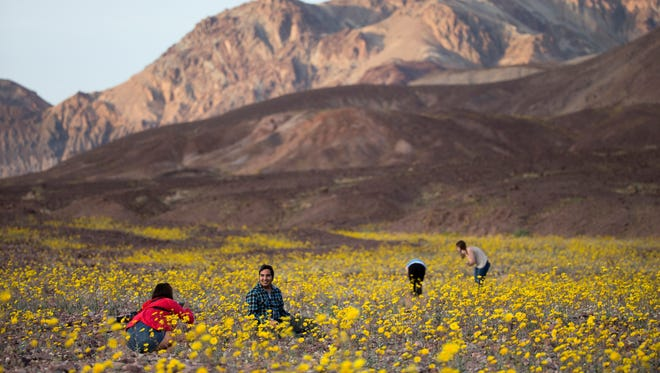 In this Wednesday, Feb. 24, 2016 photo, tourists take picture of wildflowers near Badwater Basin in Death Valley, Calif. A rare 'super bloom' of wildflowers in Death Valley National Park has covered the hottest and driest place in North America with a carpet of gold, attracting tourists from all over the world and enchanting visitors with a stunning display from natureís paint brush.