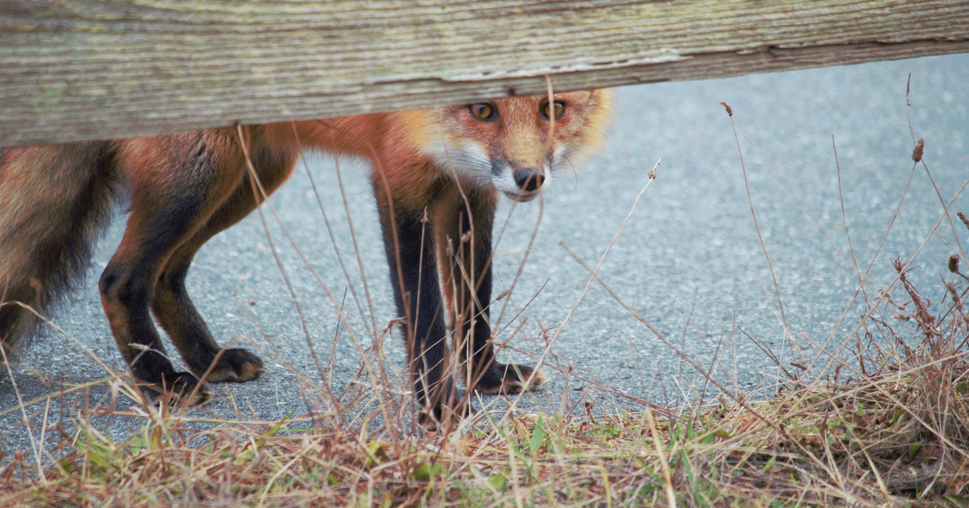 Foxes, possums and raccoons, oh my!