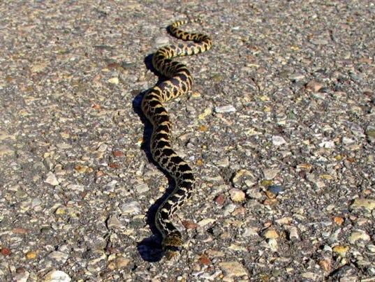636305525606203947-Len-Harris-snake.jpg