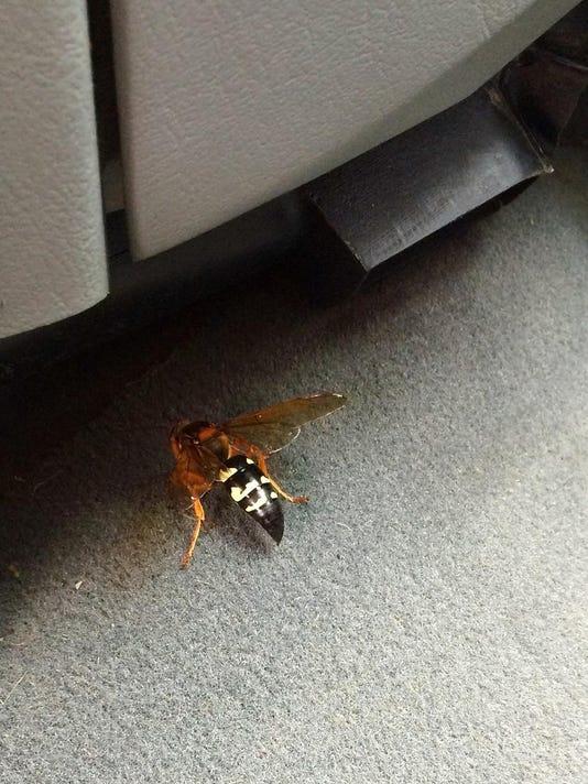 cicada_killer_orig