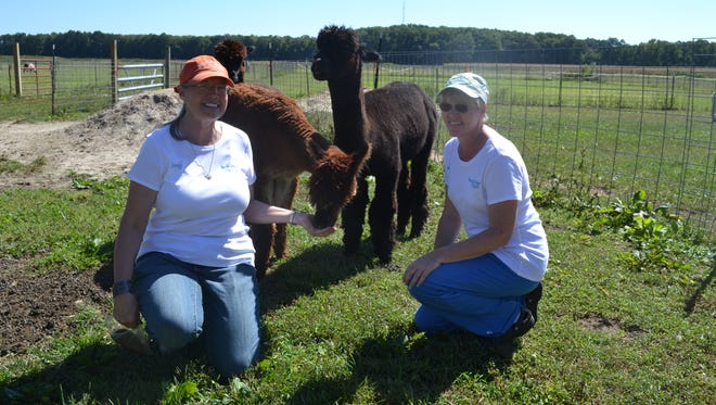 Nancy Taylor, left, and Susan Taylor pose with some of the alpacas at Ocean Breeze Alpacas. The Taylor family farm in Berlin now features a shop where customers can buy alpaca fiber and clothing made from alpaca yarn.