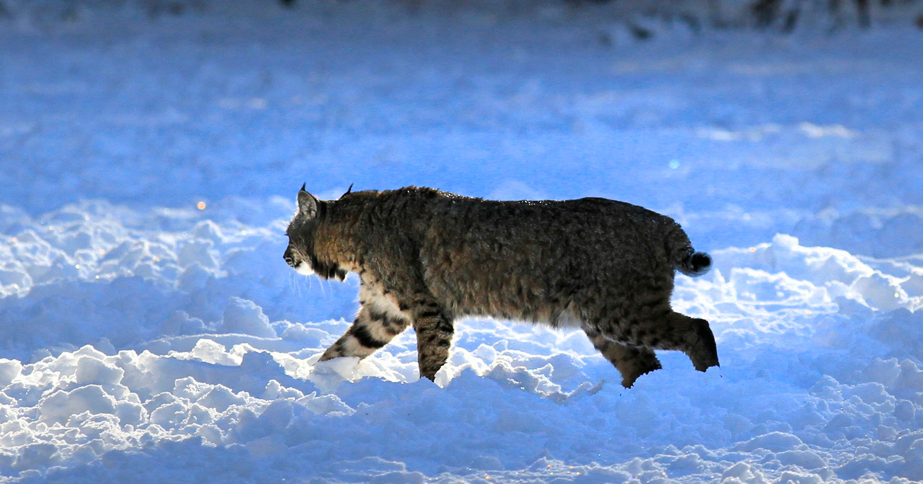 Bobcats a Wisconsin wildlife success story.