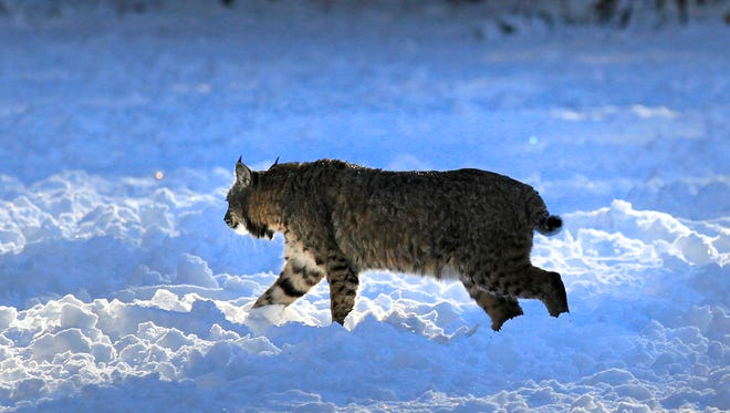 According to DNR estimates, northern Wisconsin had about 1,500 bobcats in 1980 and about 3,500 in 2016.
