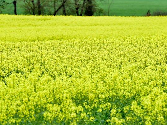 cpo-mwd-042417-yellow-plants.jpg