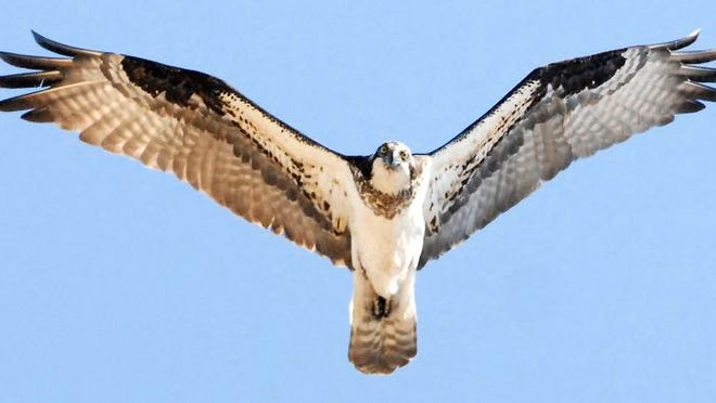 An osprey flies to its nest at Collins Marsh Wildlife Area in western Manitowoc County.