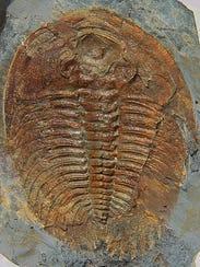Wanneria walcottana trilobite from the Smithsonian