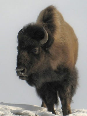 Bison are an iconic part of Yellowstone National Park, and they played an integral role in the development of the modern environmental movement, too.