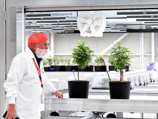 Young marijuana plants at the MedMen facility in Reno,