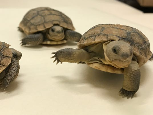 75 desert tortoises in need of forever homes in arizona for Az game and fish phone number