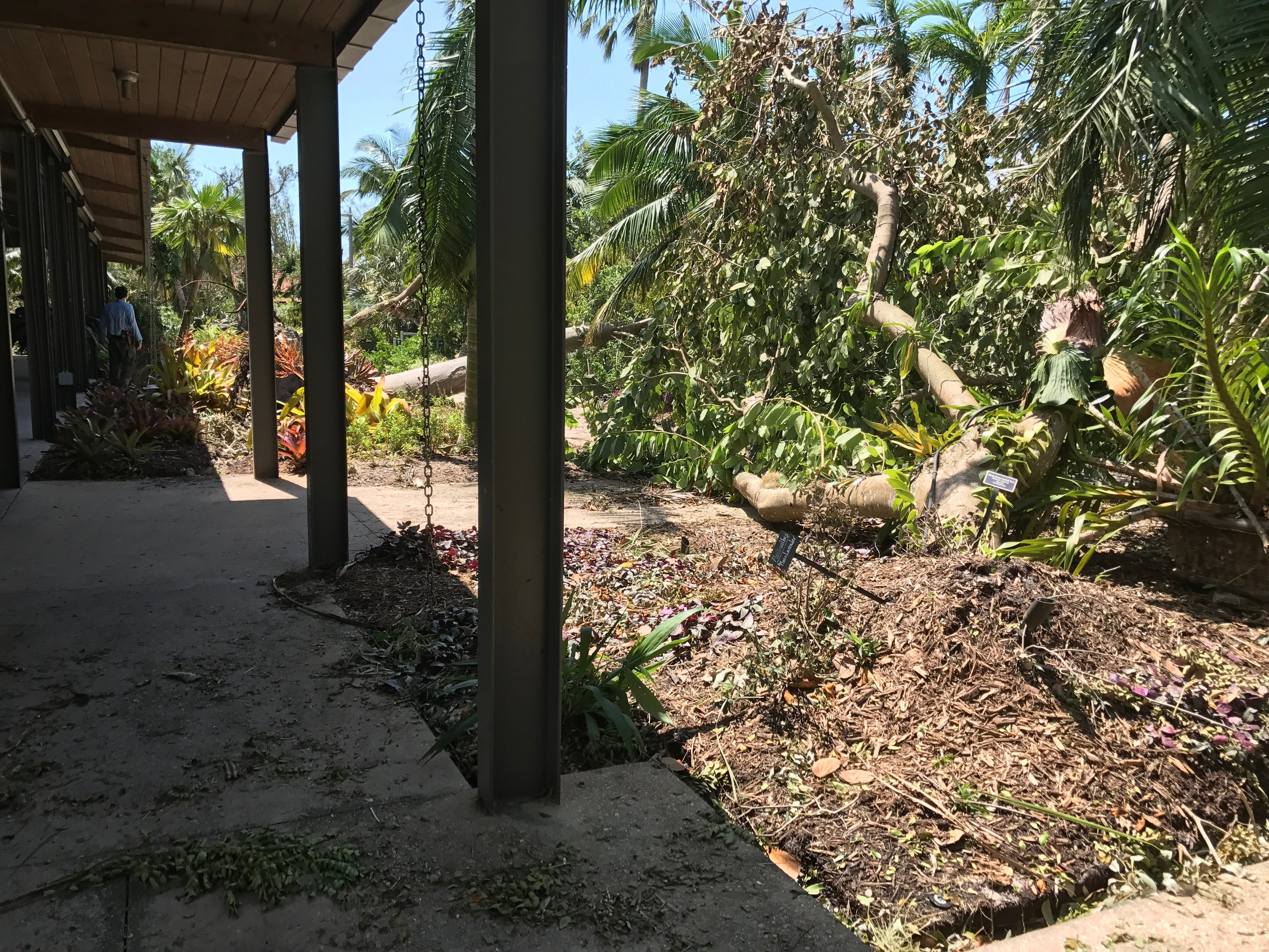 Three Trees That Flank Kapnick Hall At Naples Botanical Garden Were Felled  By Hurricane Irma In September 2017. (Photo: Harriet Howard Heithaus/Daily  News ...