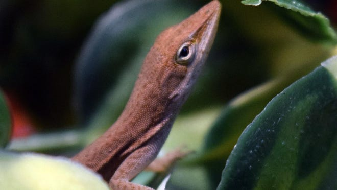 A 3-inch green anole lizard turned up in a salad at Riverside Elementary School; now the lizard is a class mascot.
