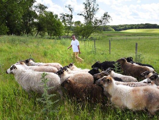 Jim Degiovanni of Dancing Bears farm moves his flock