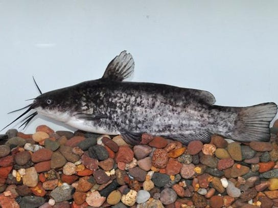 How to catch iowa record breaking fish for Ohio dnr fishing