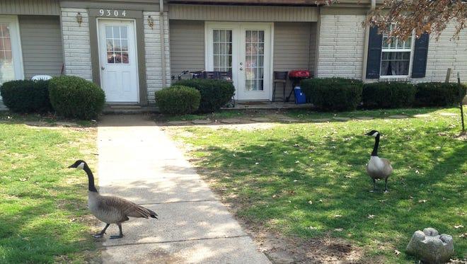 Geese spotted near Westport Road.