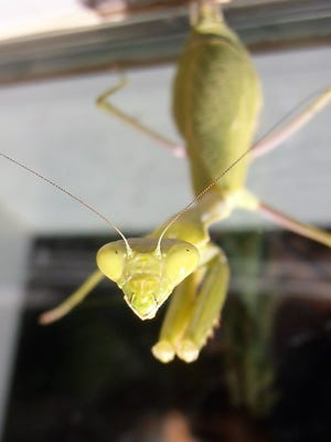 Former zookeeper Ray Pawley encountered a praying mantis who seemed to be sizing him up for a possible dinner snack.