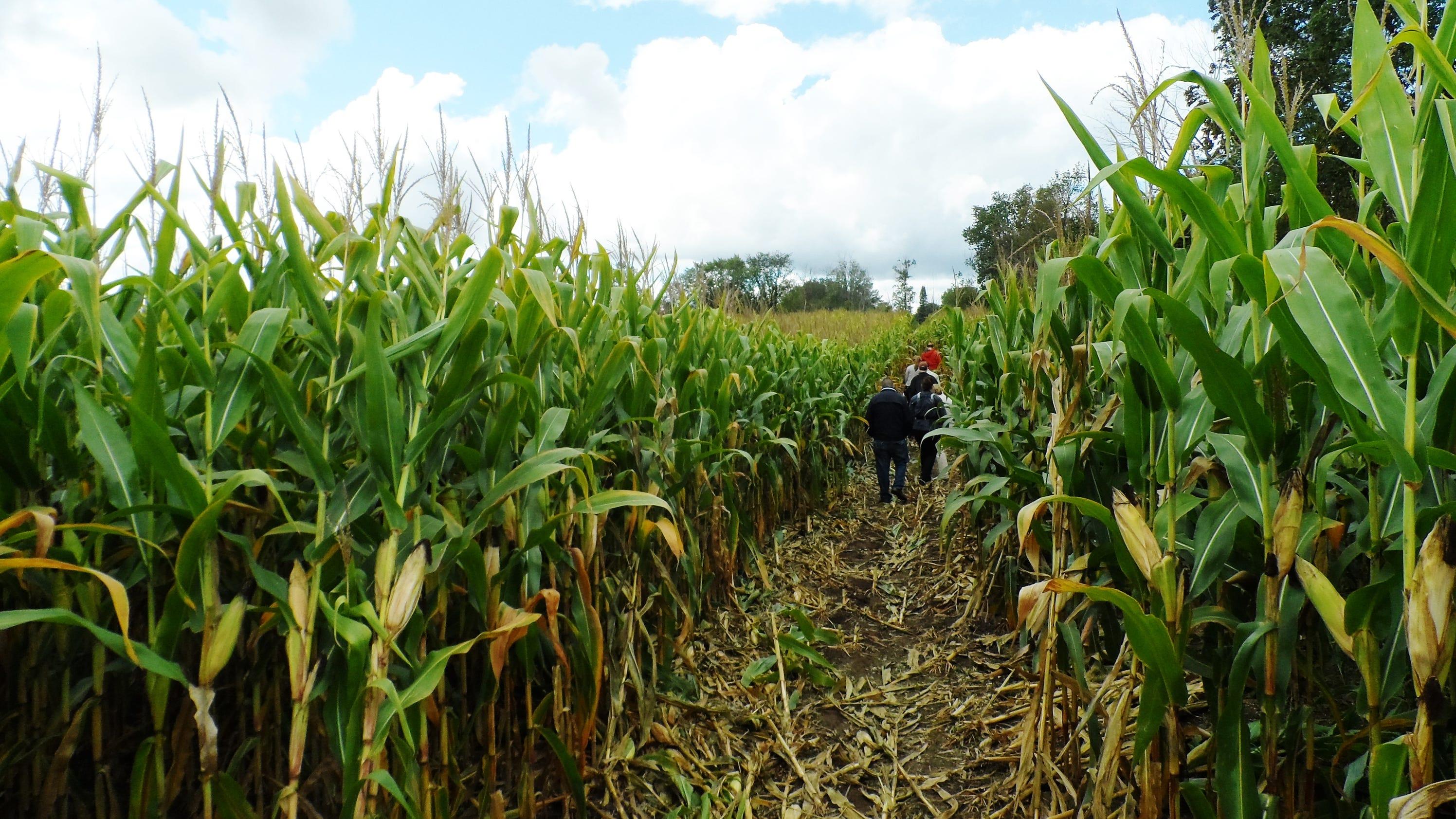 Maybury Corn Maze is challenge