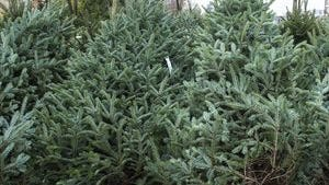 Those Christmas trees that looked so good in a lot before Christmas must  be disposed of properly after they are taken down. Most municipalities offer free pickup of discarded trees in January.