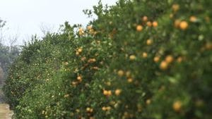 A citrus grove in Southwest Florida. Agriculture giant King Ranch has bought a citrus grove in southeastern Lee County on which a limerock application is pending.