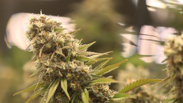 Medical marijuana to be available as substitute to prescribed opioids