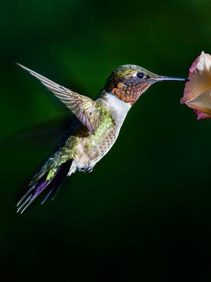 A Ruby-throated Hummingbird hovering at a flower.