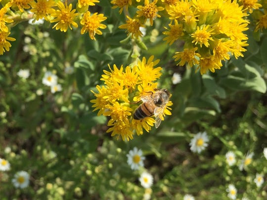 A bee forages on a goldenrod flower. Bees, wasps and hornets are out in large numbers.
