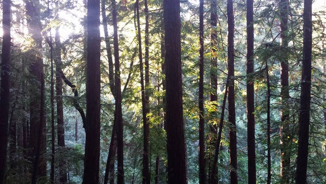 The late afternoon sun shines through the coniferous forest of northwestern Washington,