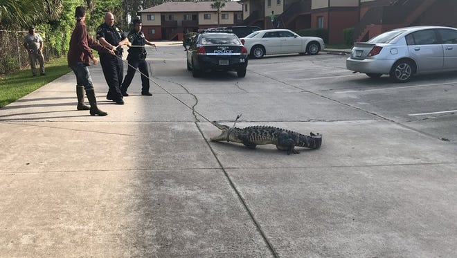 Cocoa police assist a gator trapper in removing an alligator from an apartment complex.