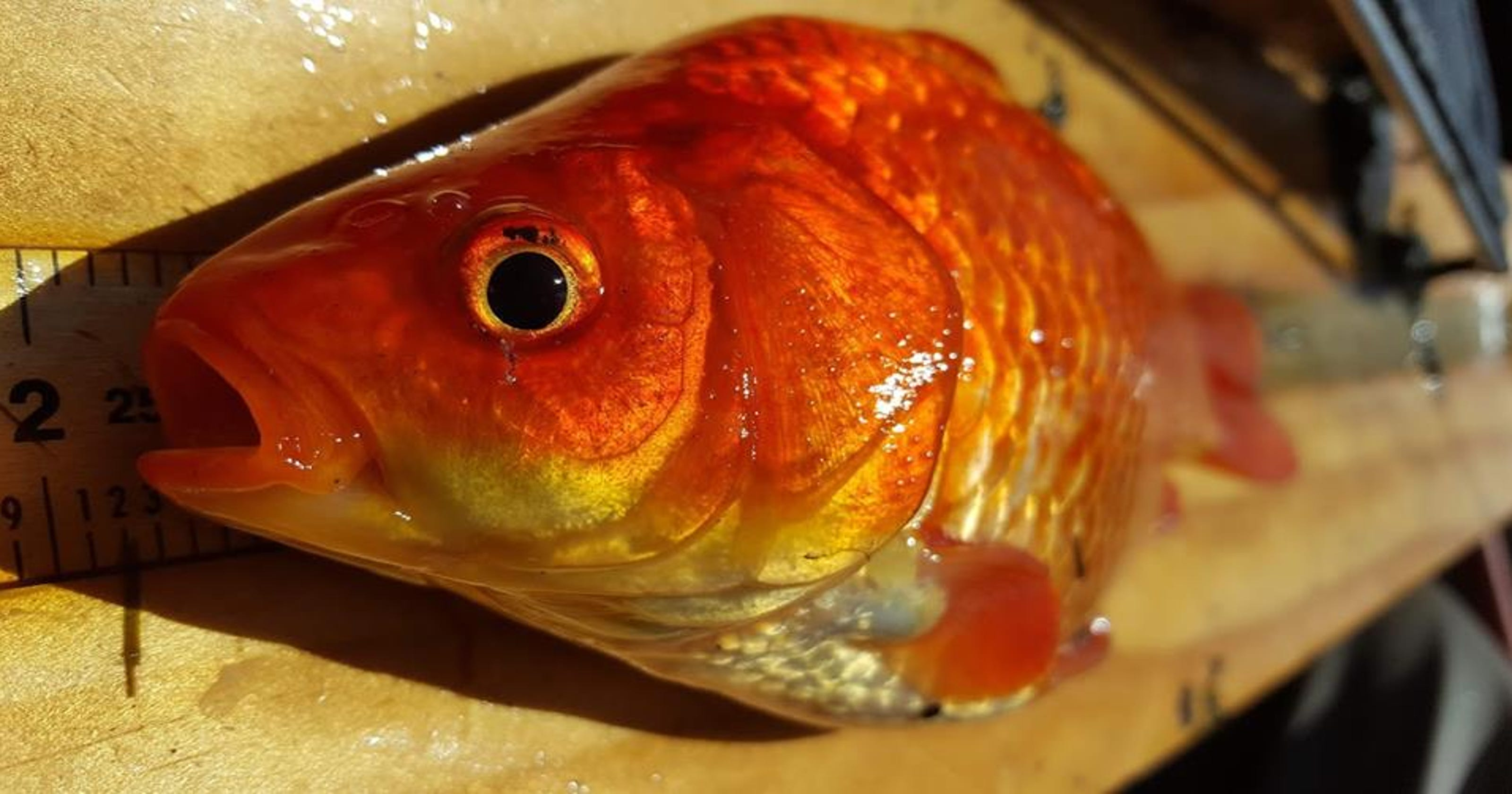 dnr explains why dumping goldfish in ponds or lakes makes them monsters