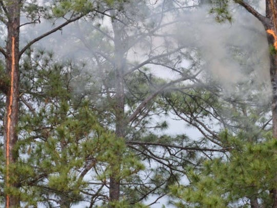 A pine tree is ablaze after it was struck by a bolt