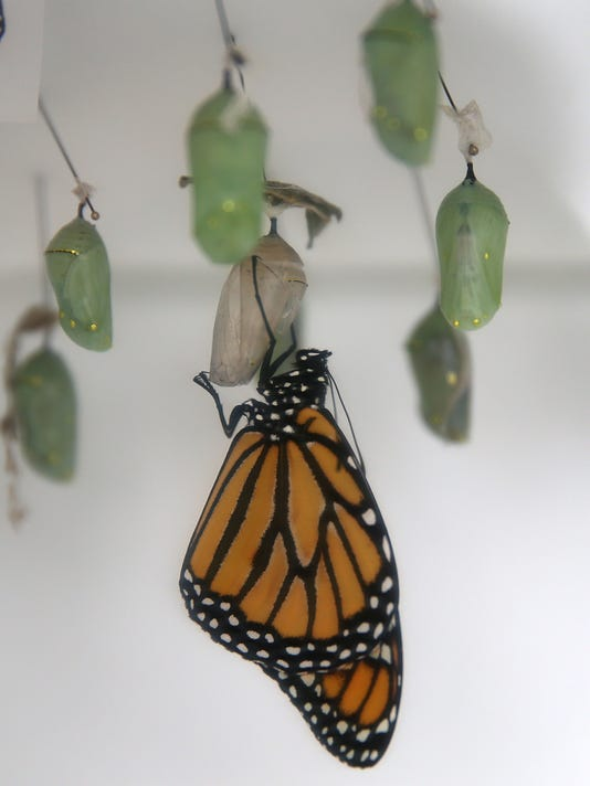 Butterfly Exhibition Opens At San Francisco's Conservatory Of Flowers