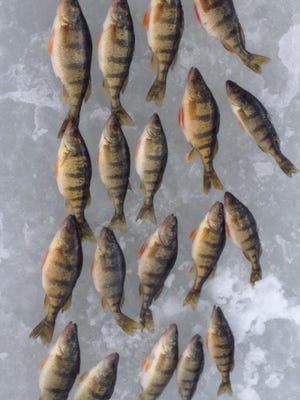Perch caught by Pat Gogins with guide Phil Schweik in March 2015.