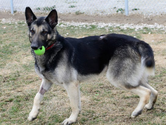 Max, a male neutered German Shepard, has become available
