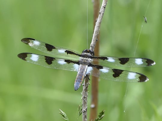 A migratory dragonfly likely a male 10-Spotted Skimmer