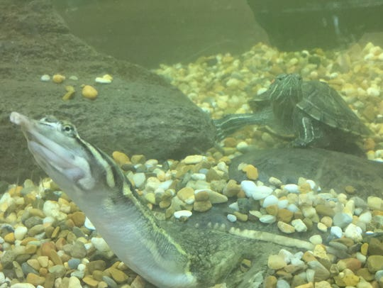Two turtles inside Walter B. Jacobs Memorial Nature