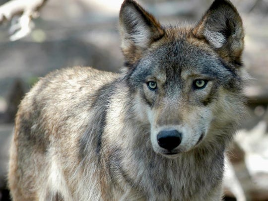 Wisconsin DNR reports that the wolf population has grown from 14 wolves in 1985 to more than 900 in 2018.